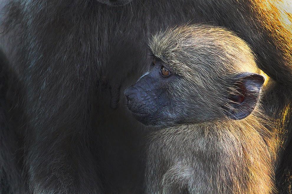 Baby-baboon-Africa-Safari