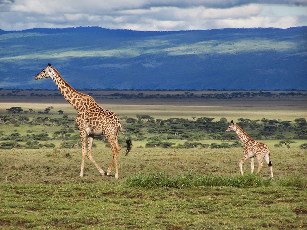 Giraffes-in-Serengeti-National-Park9