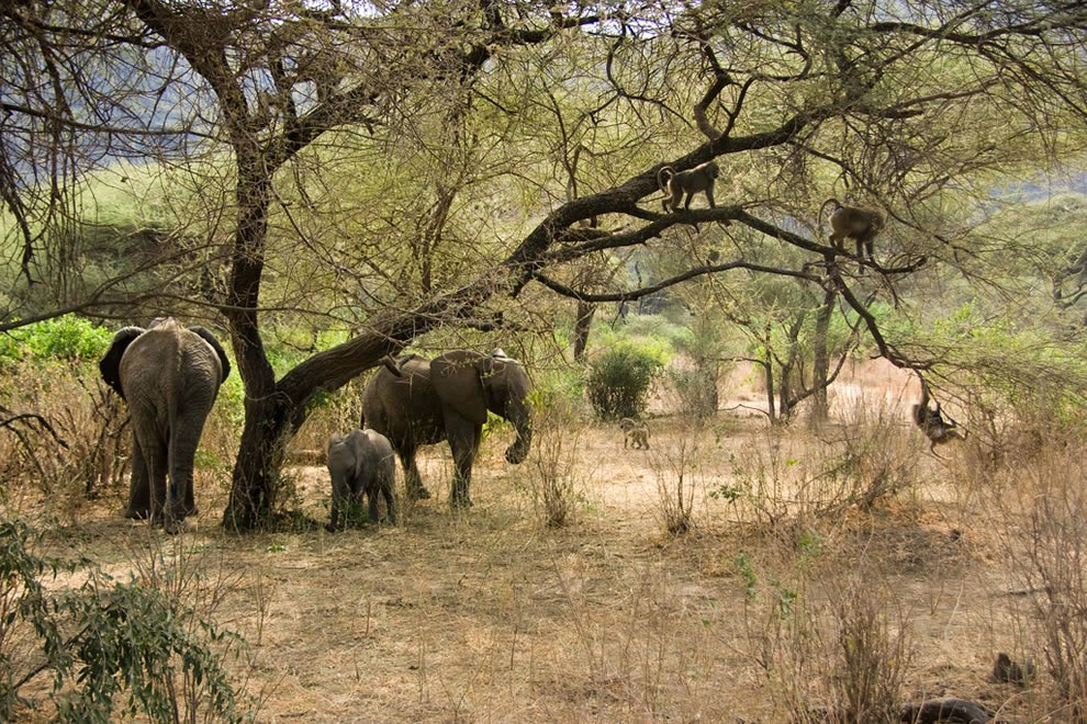 Lake-Manyara-Elephants-and-Baboons11