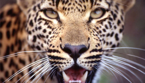 leopard-close-up-(leopard-hills)