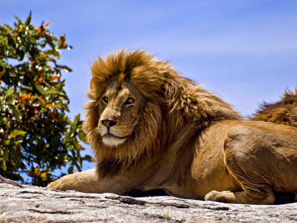 male-lion-on-a-rock-in-the-Serengeti-National-Park-Tanzania2