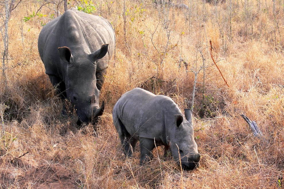 Rhino-with-baby-Kruger-National-Park-South-Africa5
