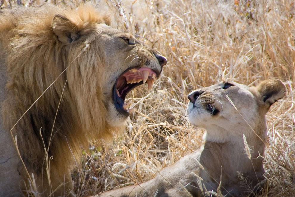 Tarangire-Safari-A-Lions-love-story3