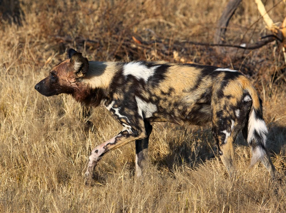 The-Last-of-the-Mohicans-Painted-Wolf-or-African-Wild-Dog-is-Africa's-most-12