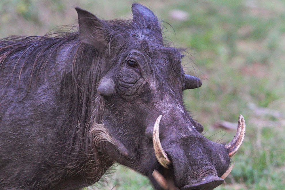 warthog-Africa-Safari8