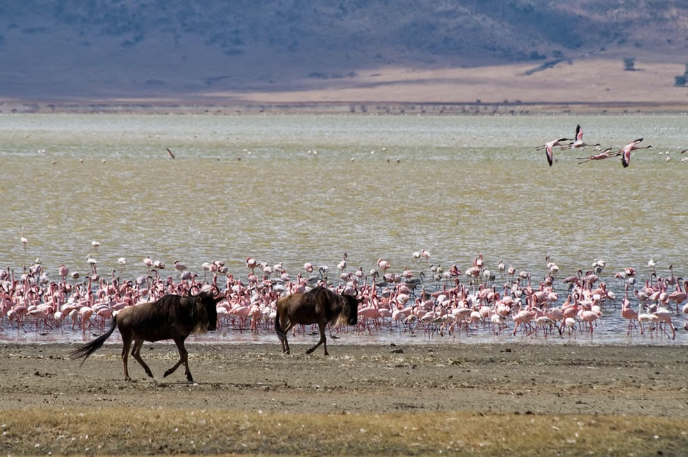 Wildebeests-and-flamingos13