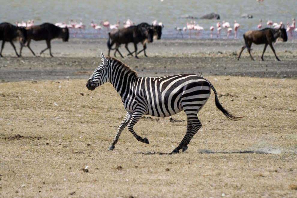 Zebra-Wildebeests-and-flamingos