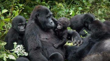 Gorilla-trekking-in-Uganda-or-Rwanda_940_529_80_s_c1