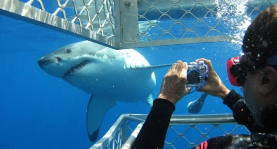 Great-White-Shark-Cage-Diving-in-Mossel-Bay-650x350